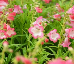 Dračík 'Arabesque Pink' - Penstemon hartwegii 'Arabesque Pink'