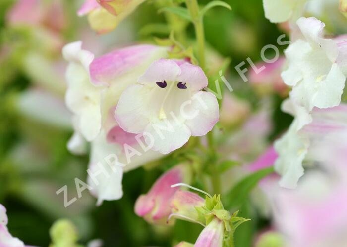Dračík 'Arabesque Appleblossom' - Penstemon hartwegii 'Arabesque Appleblossom'