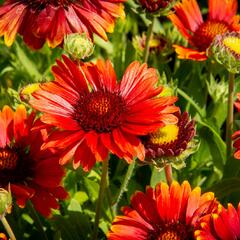 Kokarda osinatá 'Arizona Red Shades' - Gaillardia aristata 'Arizona Red Shades'