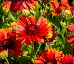 Kokarda osinatá 'Arizona Red Shades' - Gaillardia aristata 'Arizona Red Shades'