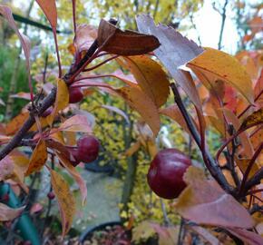 Okrasná jabloň 'Coccinella' - Malus 'Coccinella'