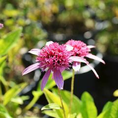 Třapatka nachová 'Pink Double Delight' - Echinacea purpurea 'Pink Double Delight'