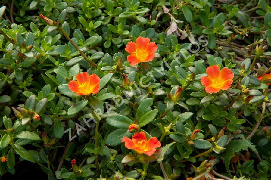 Šrucha 'Red' - Portulaca umbraticola 'Red'