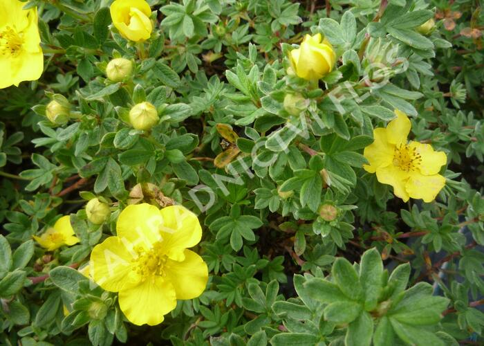 Mochna křovitá 'Medicine Wheel Mountain' - Potentilla fruticosa 'Medicine Wheel Mountain'