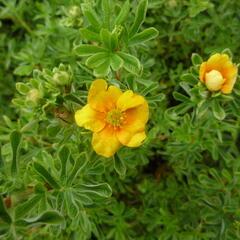 Mochna křovitá 'Hopley's Orange' - Potentilla fruticosa 'Hopley's Orange'