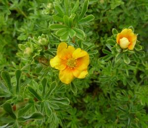 Mochna křovitá 'Hopley's Orange' - Potentilla fruticosa 'Hopley's Orange'