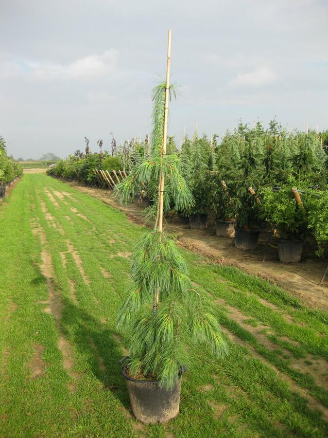 Borovice vejmutovka 'Pendula' - Pinus strobus 'Pendula'
