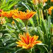 Gazánie zářivá 'Kiss Orange Flame' - Gazania rigens 'Kiss Orange Flame'