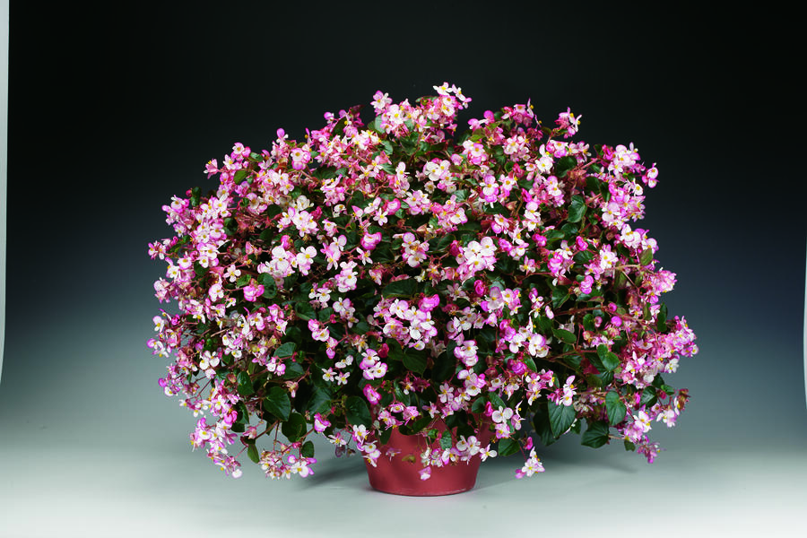 Begónie 'Braveheart' - Begonia hybrida 'Braveheart'