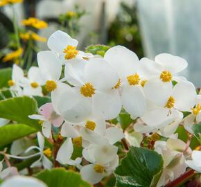 Begónie 'Baby Wing' - Begonia hybrida 'Baby Wing'