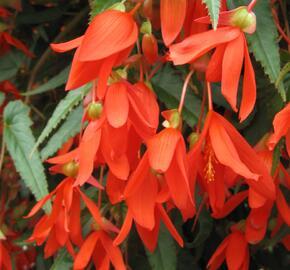 Begónie bolívijská 'Bellavista Deep Orange' - Begonia boliviensis 'Bellavista Deep Orange'