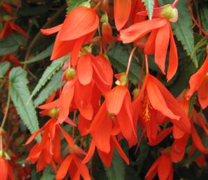 Begónie bolívijská 'Bellavista Deep Orange' - Begonia boliviensis 'Bellavista Deep Orange'