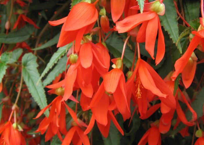 Begónie bolívijská 'Bellavista Orange' - Begonia boliviensis 'Bellavista Orange'