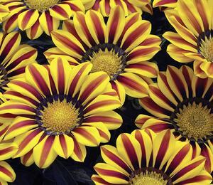 Gazánie zářivá 'Impressa Yellow Flame' - Gazania rigens 'Impressa Yellow Flame'