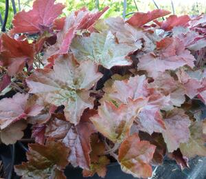 Dlužicha americká 'Palace Purple' - Heuchera americana 'Palace Purple'