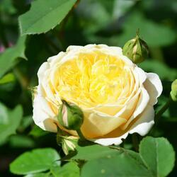 Anglická pnoucí růže Davida Austina 'Teasing Georgia' - Rosa PN 'Teasing Georgia'