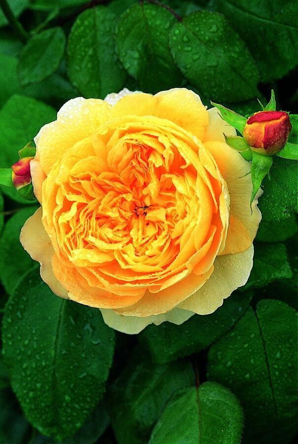 Anglická růže Davida Austina 'Charles Darwin' - Rosa S 'Charles Darwin'