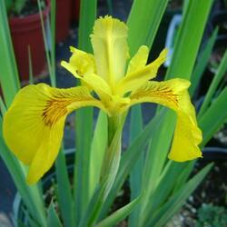 Kosatec žlutý 'Variegata' - Iris pseudacorus 'Variegata'