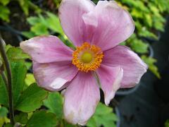 Sasanka japonská 'Margarete' - Anemone japonica 'Margarete'