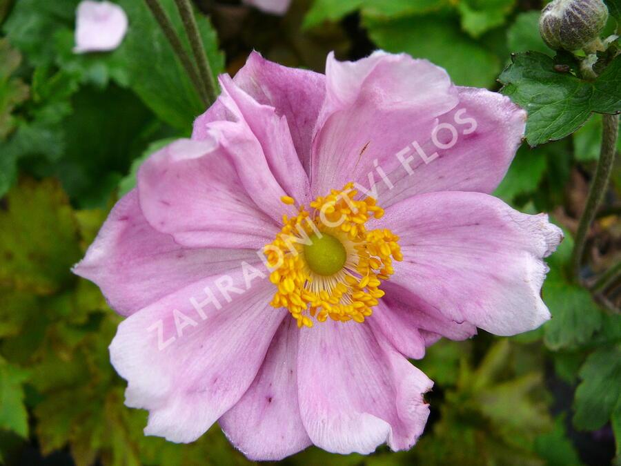 Sasanka japonská  'Königin Charlotte' - Anemone japonica 'Königin Charlotte'
