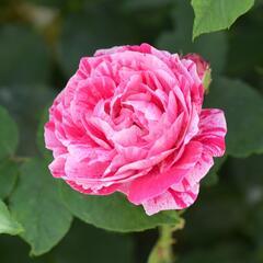 Růže parková 'Ferdinand Pichard' - Rosa S 'Ferdinand Pichard'