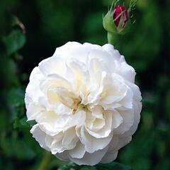 Růže parková 'Boule de Neige' - Rosa S 'Boule de Neige'