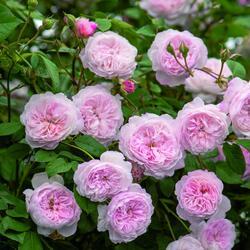 Anglická pnoucí růže Davida Austina 'Albrighton Rambler' - Rosa PN 'Albrighton Rambler'