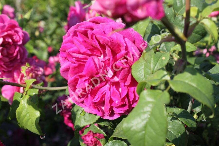 Anglická růže Davida Austina 'Young Lycidas' - Rosa S 'Young Lycidas'