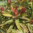 Pryšec mandloňovitý 'Ascot Rainbow' - Euphorbia amygdaloides 'Ascot Rainbow'