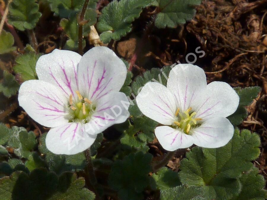 Pumpava 'Bishop's Form White' - Erodium variabile 'Bishop's Form White'
