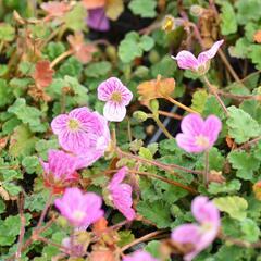 Pumpava 'Bishop's Form Rose' - Erodium variabile 'Bishop's Form Rose'