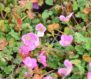 Pumpava 'Bishop's Form Rose' - Erodium variabile 'Bishop's Form Rose'