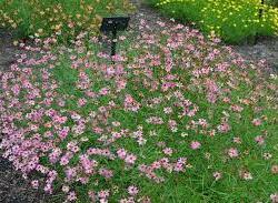 Krásnoočko přeslenité 'Limerock Passion' - Coreopsis verticillata 'Limerock Passion'