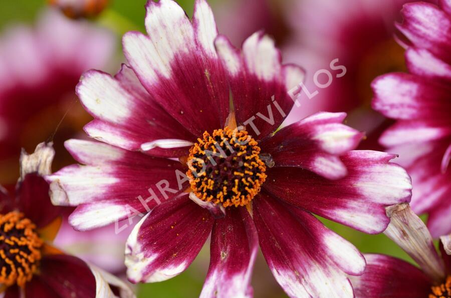 Krásnoočko přeslenité 'Fruit Punch' - Coreopsis verticillata 'Fruit Punch'