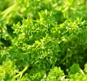 Petržel zahradní 'Mooskrause' - Petroselinum crispum 'Mooskrause'