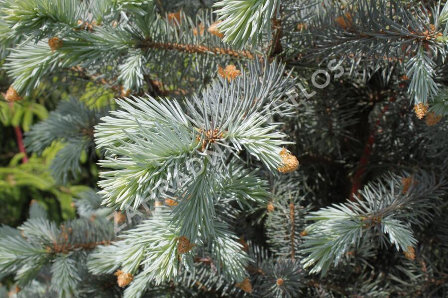 Smrk pichlavý 'Blue Diamont' - Picea pungens 'Blue Diamont'