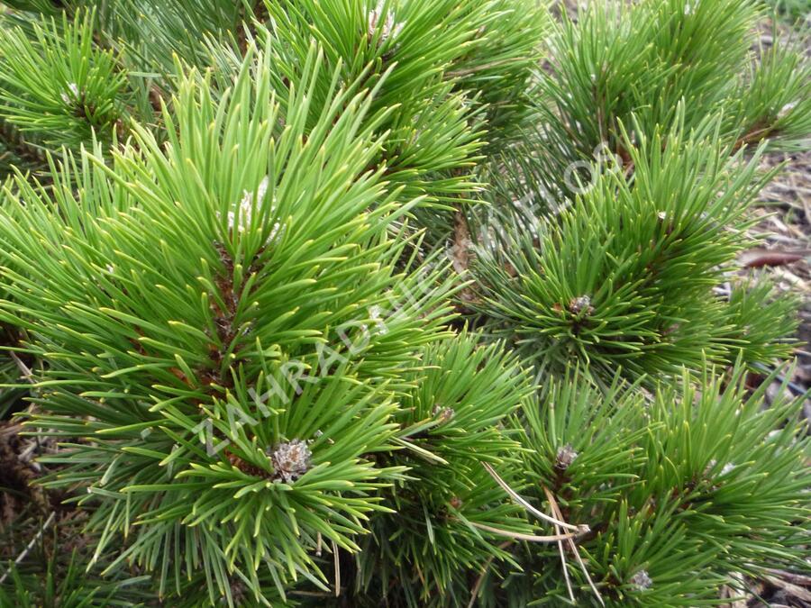 Borovice černá 'Hornibrookiana' - Pinus nigra 'Hornibrookiana'