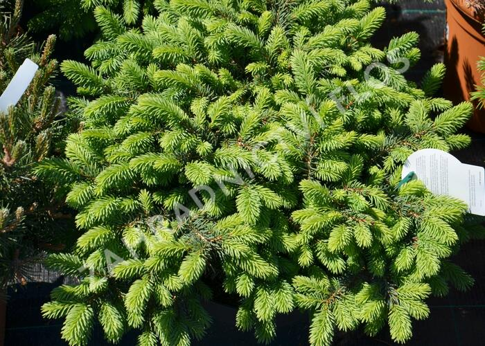 Smrk pichlavý 'Waldbrunn' - Picea pungens 'Waldbrunn'