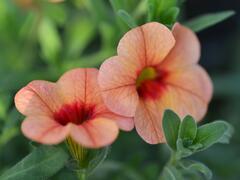 Minipetunie, Million Bells 'Sweetbells Peach Red Center' - Calibrachoa hybrida 'Sweetbells Peach Red Center'
