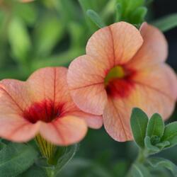 Minipetunie, Million Bells ''Sweetbells Peach Red Center' - Calibrachoa hybrida 'Sweetbells Peach Red Center'