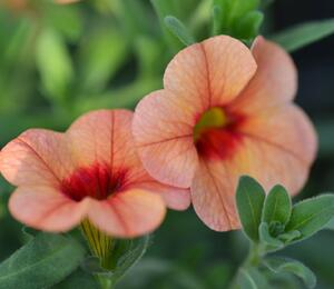 Minipetunie, Million Bells ''Sweetbells Peach Red Center' - Calibrachoa hybrida 'Sweetbells Peach Red Center'