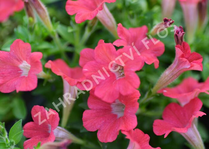 Petúnie 'Tiny Tunia Red' - Petunia hybrida 'Tiny Tunia Red'