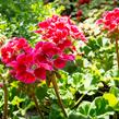 Muškát, pelargonie páskatá klasická 'Deep Rose with Eye' - Pelargonium zonale 'Deep Rose with Eye'
