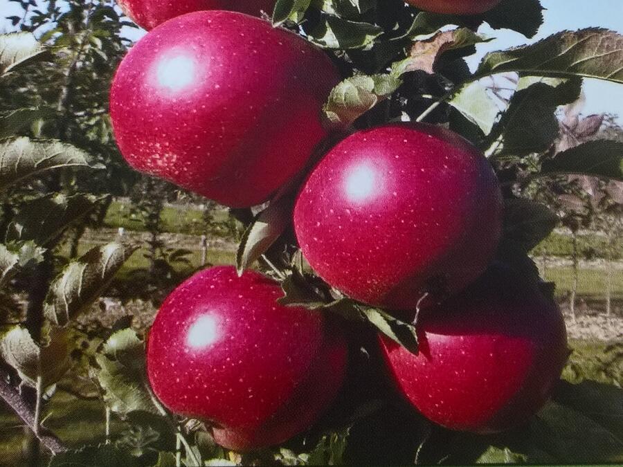 Jabloň zimní - sloupovitá 'Redspring' - Malus domestica 'Redspring'
