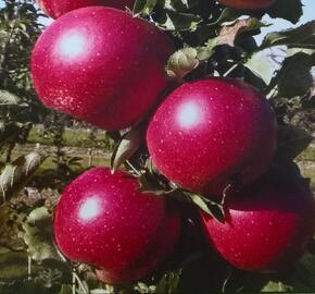 Jabloň zimní 'Redspring' - Malus domestica 'Redspring'