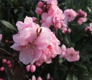 Slivoň 'Spring Glow' - Prunus x persicoides 'Spring Glow'