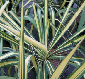 Juka vláknitá 'Golden Sword' - Yucca filamentosa 'Golden Sword'