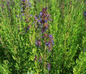 Yzop lékařský ssp. aristatus - Hyssopus officinalis ssp. aristatus
