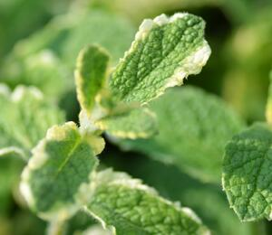 Máta huňatá 'Variegata' - Mentha rotundifolia 'Variegata'