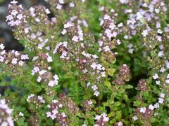Mateřídouška 'Variegata' - Thymus x citriodorus 'Variegata'